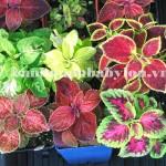 Cây trồng vườn đứng: Cây lá gấm