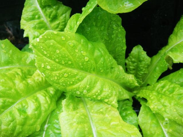 Xu hướng trồng rau sạch tại nhà