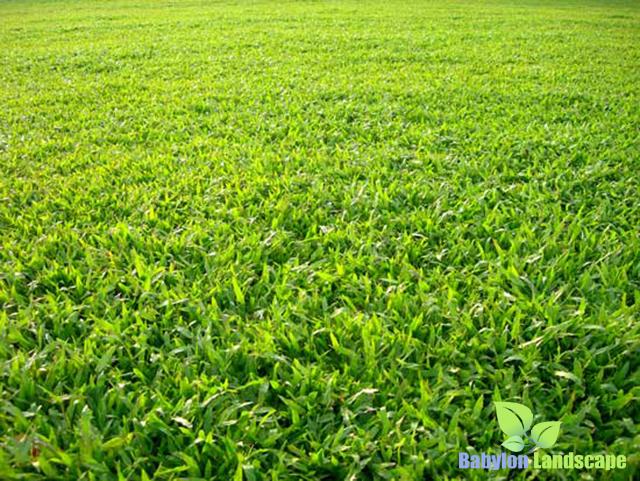 Thảm cỏ lá gừng