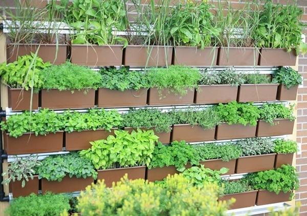Vườn tường cây thuốc nam, gia vị nhà phố và những lợi ích tuyệt vời