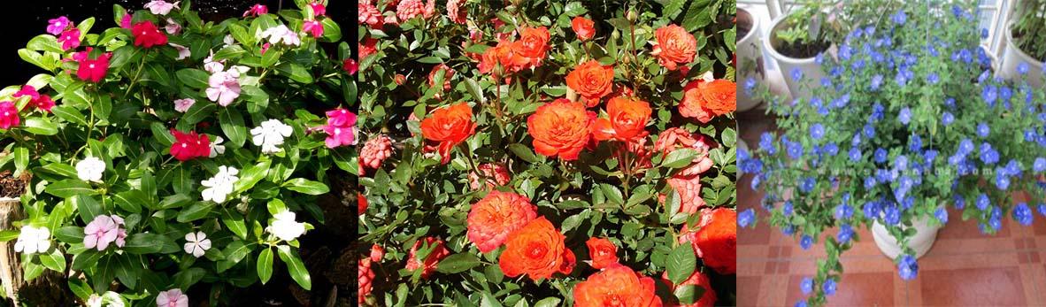 hoa quanh năm cho vườn tường
