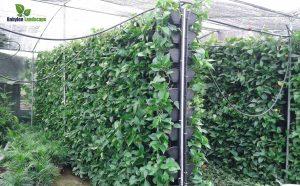 Thi công vườn tường cần có vườn ươm cây dự bị