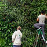 Thi Công Cây Xanh Treo Tường Tại Khu Đô Thị Ciputral
