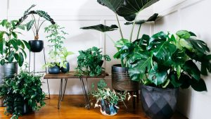 Trầu bà lá xẻ - cây trồng trong nhà không cần ánh sáng