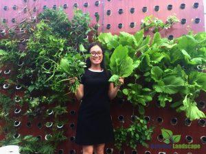 Thu hoạch rau trên vườn tường khí canh