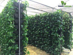 Vườn ươm dự bị chuẩn bị cây giống cho thi công vườn trên tường