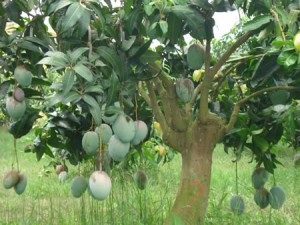 Cây Xoài, một lựa chọn phổ biến cho sân vườn biệt thự