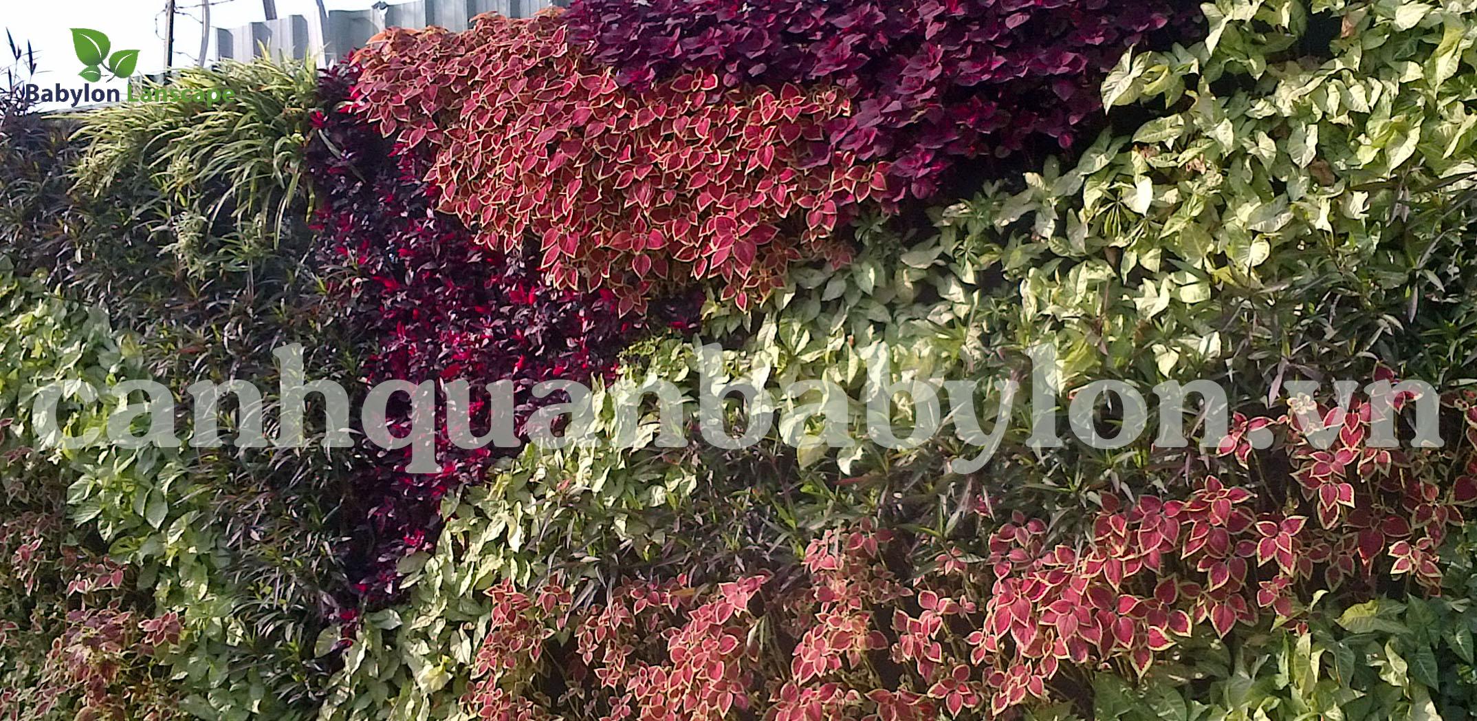 Những đường nét của tía tô cảnh đa sắc màu trong một dự án vườn thẳng đứng tại biệt thự nhà vườn Hà Đông - Hà Nội
