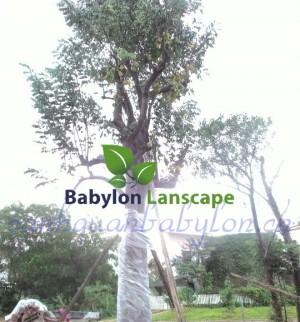 Trồng cây sân vườn biệt thự: Cây khế