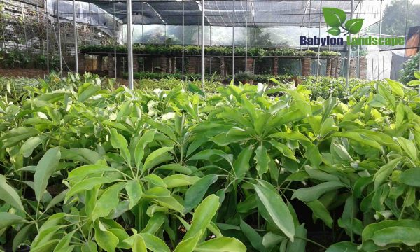 Cập nhật hình ảnh mới nhất về vườn ươm Babylon (P3)