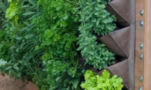 Vườn cây thuốc nam trên vườn tường