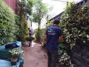 Lấy cây từ vườn ươm dự bị để thi công vườn tường
