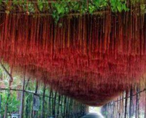 Giải pháp chống nóng bằng dây tơ hồng trên vườn tường