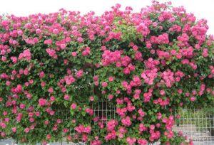 vườn tường hoa leo - giải pháp chống nóng