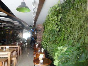 Cây trồng vườn trên tường - Trầu Bà Lá Xẻ
