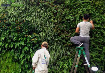 cây treo tường tại khu đô thị Ciputral - Hà Nội