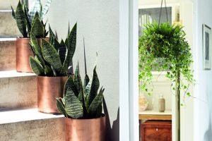Lưỡi Hổ - cây trồng trong nhà không cần ánh sáng