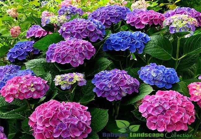 Mùa hè rực rỡ với hoa trồng ban công