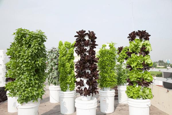 Tự trồng rau sạch tại nhà, vườn rau sân thượng, vườn rau ban công