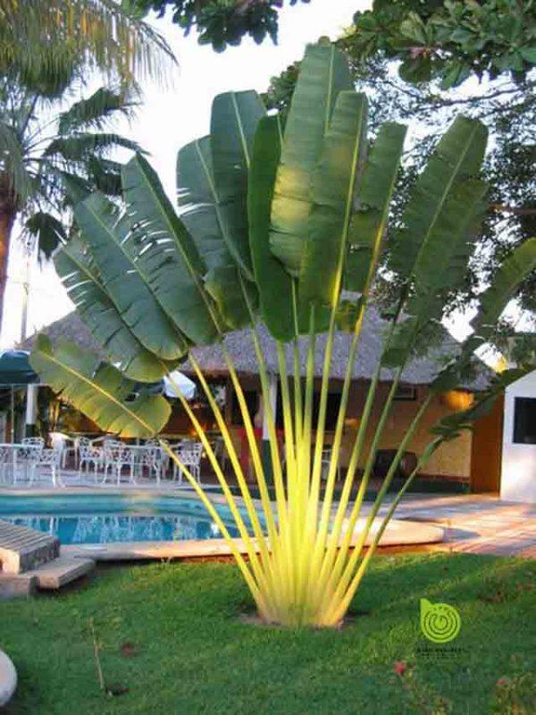 Cay-chuoi-re-quat