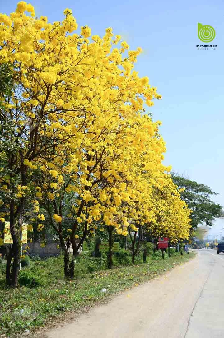 Cay-chuong-vang-dep-tai-ha-noi