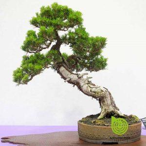 tung-la-han-bonsai