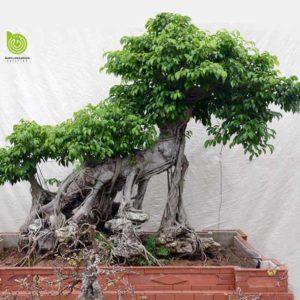 cay-sanh-bonsai