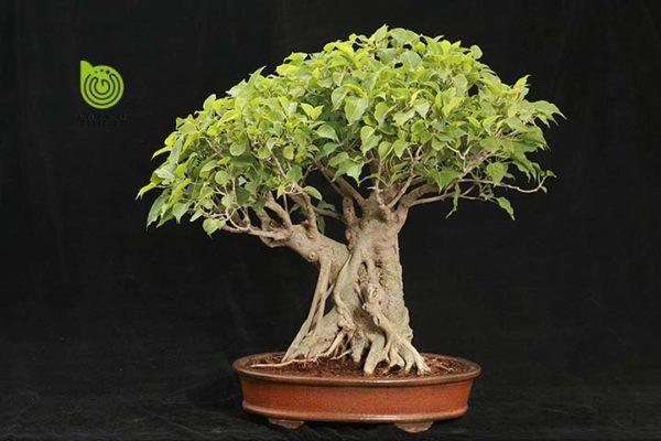 cay-sung-bonsai